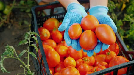 engradado : Top view of Farmers hands are holding several ripe tomatoes in the garden. Harvesting vegetables