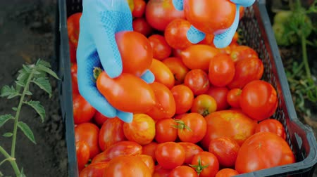 Farmer harvests tomatoes, puts ripe berries in a box