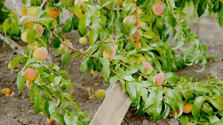 A tree branch bent under the weight of ripe peaches
