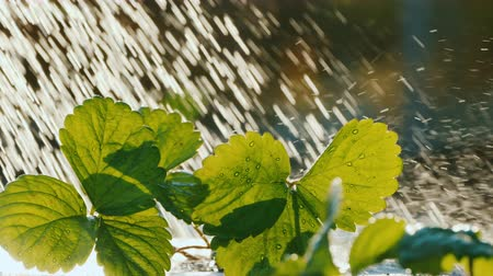 brotos : Water the strawberry sprouts, water drops fall on the green leaves Vídeos