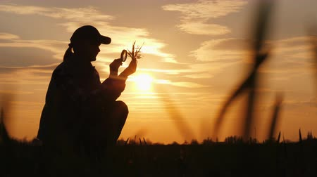 brotos : Silhouette of an agronomist studying wheat sprouts. Sits in a field at sunset
