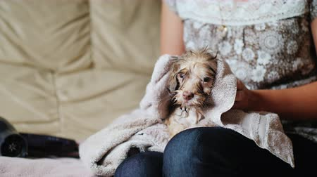 tremble : A woman is wiping a puppy with a towel. A wet dog sits on her lap Stock Footage