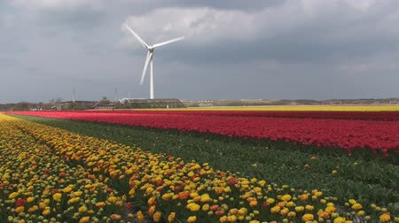 aroma : Tulips field, windmill power station, Alkmaar, Denmark