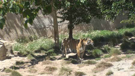 kaplan : Tiger in a zoo, Terra Natura, Benidorm, Spain Stok Video