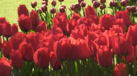 голландский : Red Tulips, Keukenhof, Lisse, Netherlands Стоковые видеозаписи