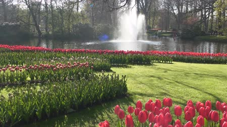 tulipany : Red Tulips, Keukenhof, Lisse, Netherlands Wideo