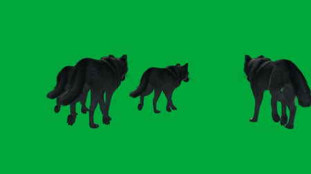 mamífero : wolfs walk - animal green screen footage