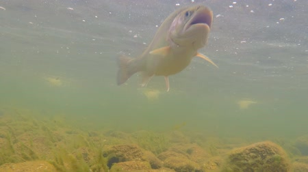 pisztráng : Trout swims under water. Fish in the river. Rainbow trout Stock mozgókép