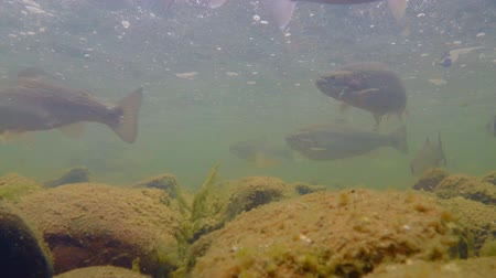 underwater video : Trout swims under water. Fish in the river. Rainbow trout. Underwater video