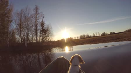 hunting dog : Boat with Dog Approaching Shore. Boat floats on the lake in the spring towards the sun. In the boat sits a dog looking at the Sun Stock Footage
