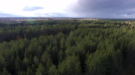 Flying over Pine Forest in Autumn. Drone flying over coniferous forest in autumn. On the distant horizon overlooking the city.