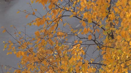 Cars Drive Fast in Autumn. Cars quickly go on the road. Between the road and the camera birch branches and yellow leaves. Shot from above Stock Footage