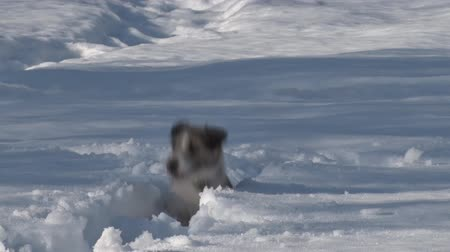 Dog Runs through Deep Snow. Dog breed Jack Russell Terrier running in the snow in the winter. The dog falls into the snow. Dog cheerful Stock Footage
