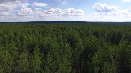 Top View of Young Coniferous Forest. The video is taken from the quadrocopter. The camera flies over the trees to the horizon. The forest is visible to the horizon.