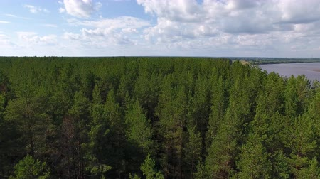 Flying over Young Coniferous Forest. The video is taken from the quadrocopter. The drone flies low over the pine forest in summer. The forest grows on the river Bank.