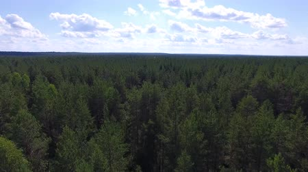 Flying over Taiga in Summer. The video is taken from the quadrocopter. The camera flies over the trees to the horizon. The forest is visible to the horizon.