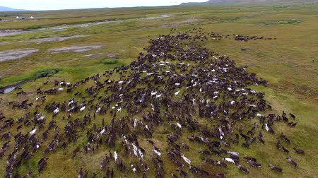 Herd of Reindeer Running on Tundra. Top view of a herd of running reindeer. Deer run on the tundra in autumn