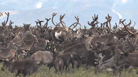 sob : Herd of Reindeer Grazing on Background of Mountain. Herd of reindeer running on the tundra against the mountain. Deer with large horns migrate.
