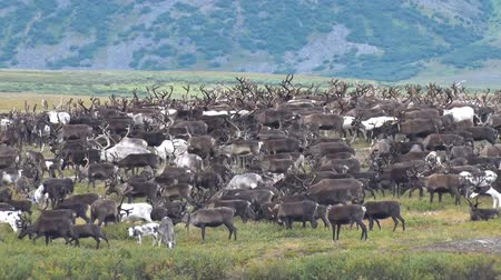Herd of Reindeer Grazing in Tundra. Herd of reindeer running on the tundra against the mountain. Deer with large horns migrate