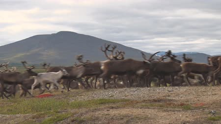 deer : Reindeer Running on Tundra. A lot of reindeer running through the moss in the tundra. Deer running on the background of mountains Stock Footage