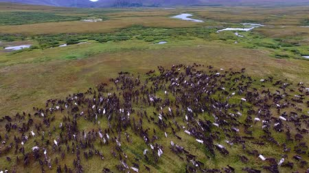 arctic tundra : Reindeer Run on Tundra in Autumn. Top view of the herd of reindeer. Deer run on the tundra in early autumn. Deer run fast