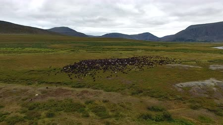 Flying Camera over Herd of Reindeer in Tundra. A video camera on the throne flies over the tundra Deer graze in the Arctic tundra among the mountains