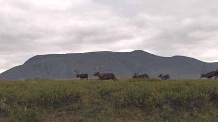 Lot of Reindeer Running Fast on Mountain Background. Reindeer run along the tundra in the Arctic Circle among the Ural Mountains. Deer are running