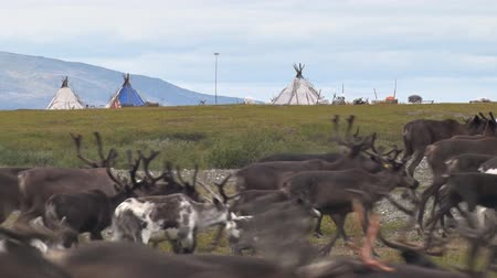 Reindeer Run on Background of Wigwams. Reindeer herders camp Behind herd of deer are wigwams