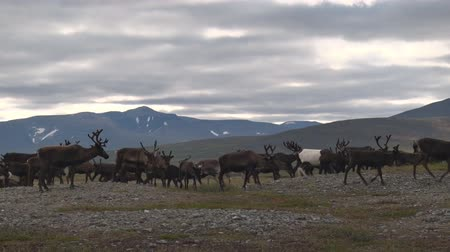 sob : Reindeer in Fall in Mountain Tundra. Among the northern mountains, reindeer graze in the fall. Behind deer Ural mountains. Over the deer cloudy sky