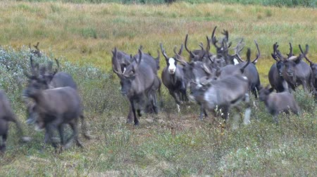 Herd of Reindeer Runs Past Camera. Reindeer run through the bush of the dwarf birch towards the video camera. Deer run fast across the tundra
