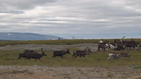 Reindeer Go on Tundra. Reindeers on the moss in the tundra