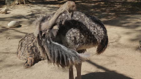 pštros : Ostrich cleaning feathers on wing