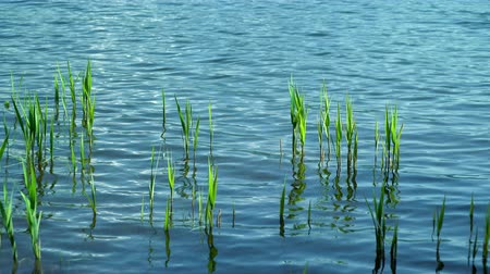 green reeds reflecting in a clear rippled lake