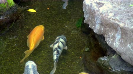 colorful koi fish swimming in a clear pond Stock Footage