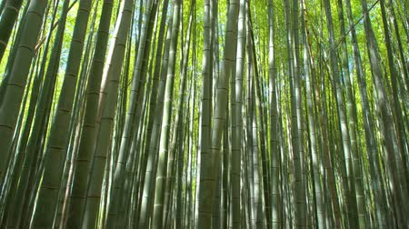 green bamboo forest in the daylight, tracking shot Stock Footage
