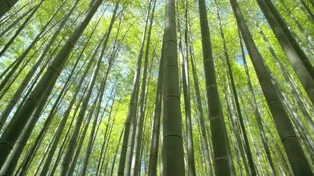 sliding shot of a beautiful bamboo forest in springtime