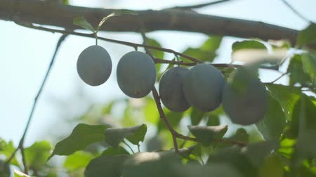 orquídeas : Plums grow in countryside orchids on sunny summer day Stock Footage