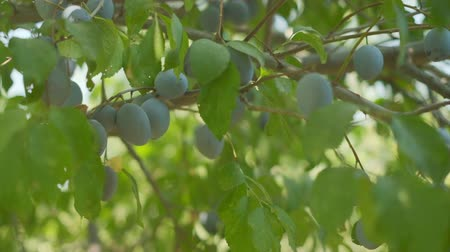 Plums grow in countryside orchids on sunny summer day Stock mozgókép