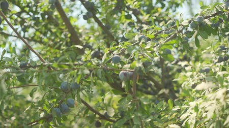 śliwka : Plums grow in countryside orchids on sunny summer day Wideo