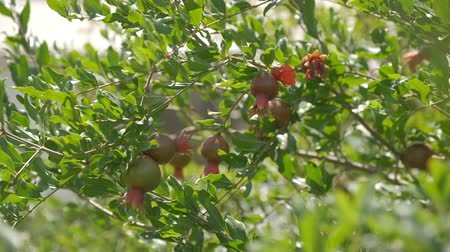 yarda : Pomegranate orchids on sunny summer day