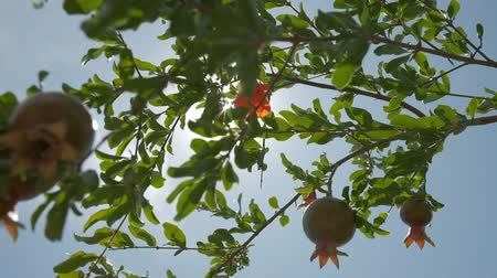 orquídea : Pomegranate orchids on sunny summer day