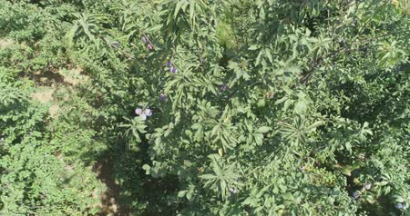 orquídea : Plum and pomegranate orchids in eastern countryside. Drone camera filming from above. Vídeos