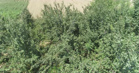 roma : Plum and pomegranate orchids in eastern countryside. Drone camera filming from above. Vídeos