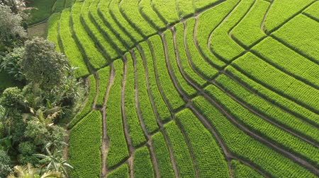 Drone flying over rice plantations on a sunny day in Bali, Indonesia. Wideo