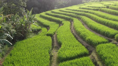földműves : Drone flying over rice plantations on a sunny day in Bali, Indonesia. Stock mozgókép