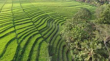 megye : Drone flying over rice plantations on a sunny day in Bali, Indonesia. Stock mozgókép