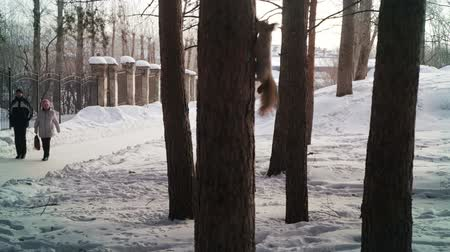 белка : Squirrel jumping and flying from tree to tree in the park Стоковые видеозаписи