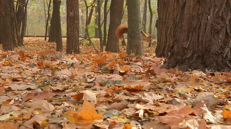 squirrel descends from a tree in autumn park