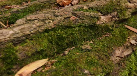 autumn, a broken tree, camera movement from left to right along the tree trunk, close-up, full hd, no sound. Wideo