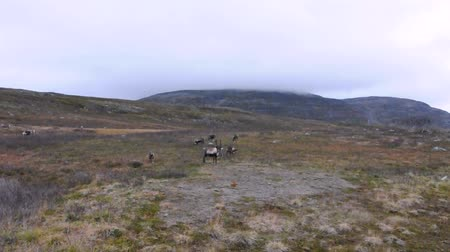 alce : Scandinavian Reindeer The Finnish forest reindeer is found in the wild in only two areas of the Fennoscandia peninsula of Northern Europe.
